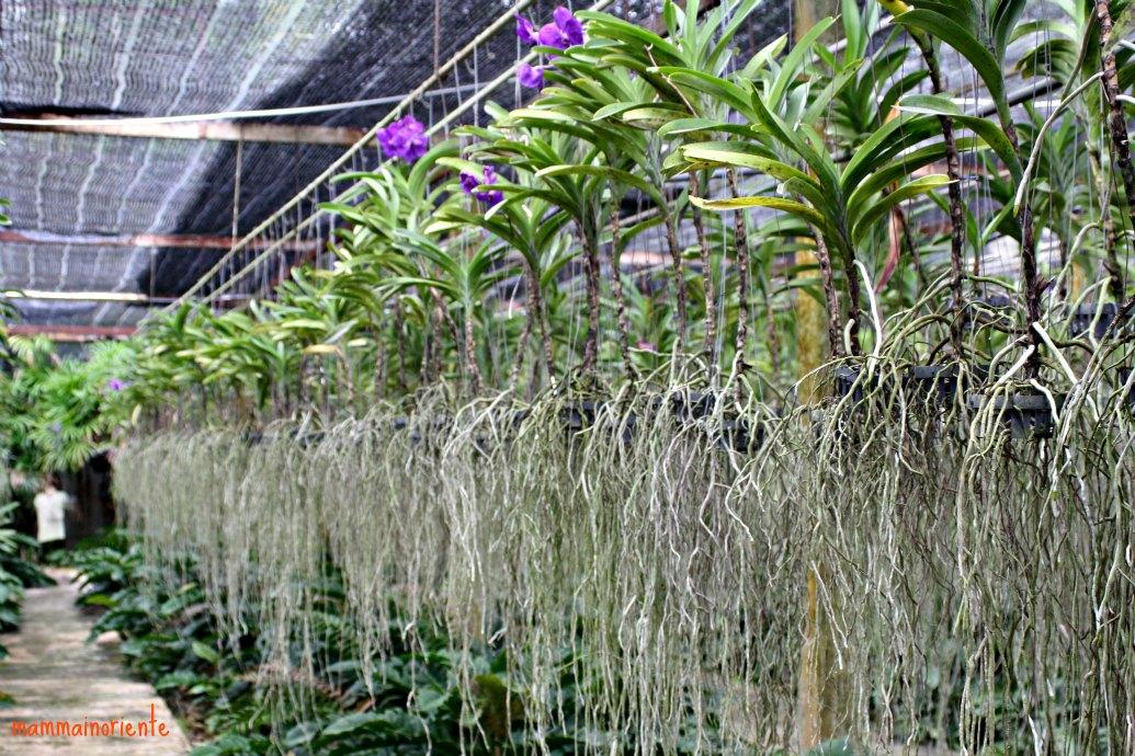 La fattoria delle orchidee di pattaya mamma in oriente for Radici orchidea