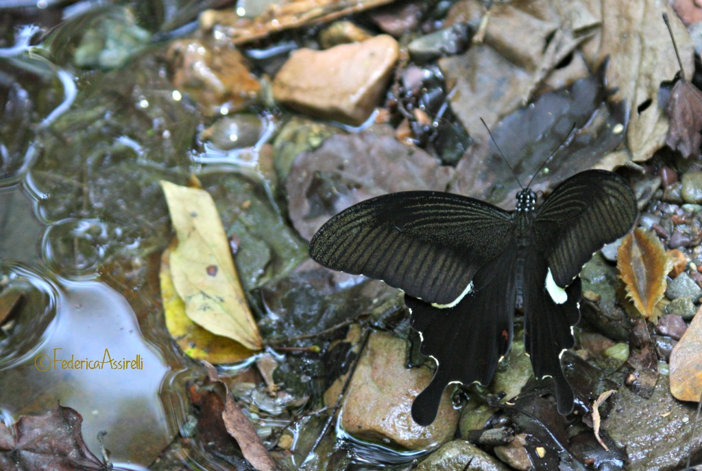 Black Butterfly at Ram Kham Haeng National Park