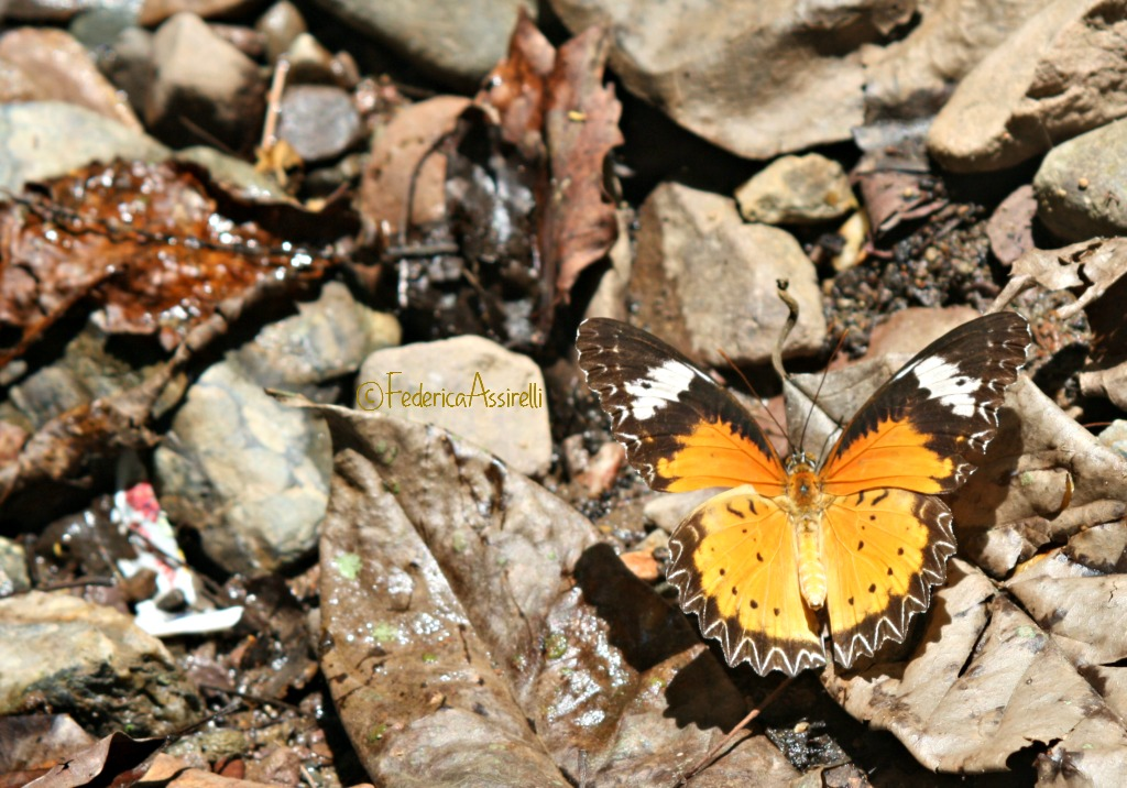 Farfalla che beve