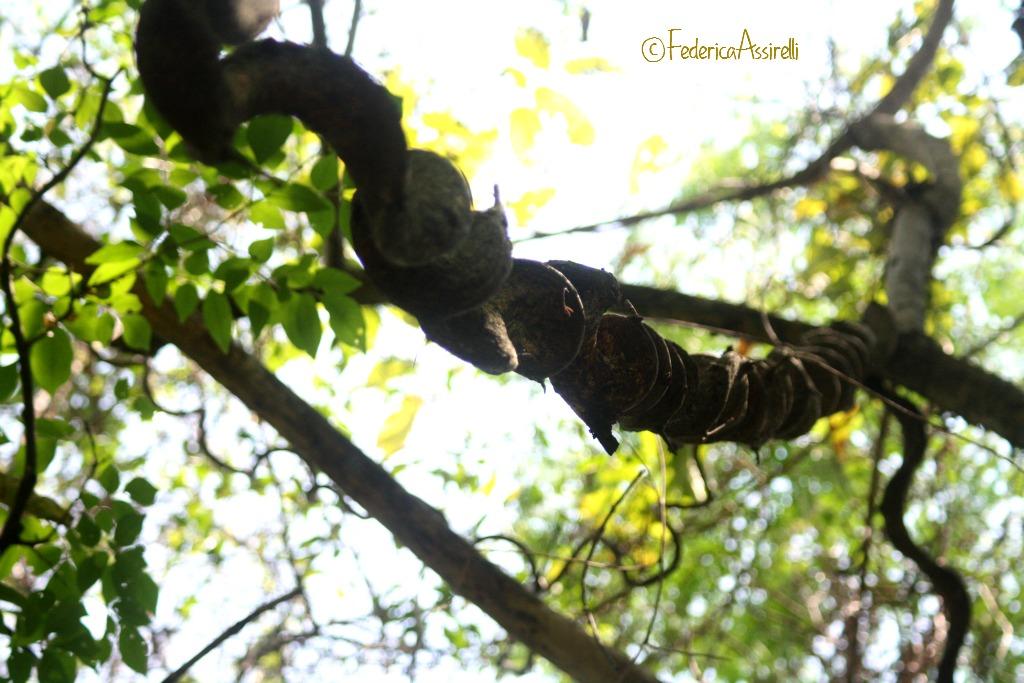 Liana nella giungla del Ram Kham Haeng National Park