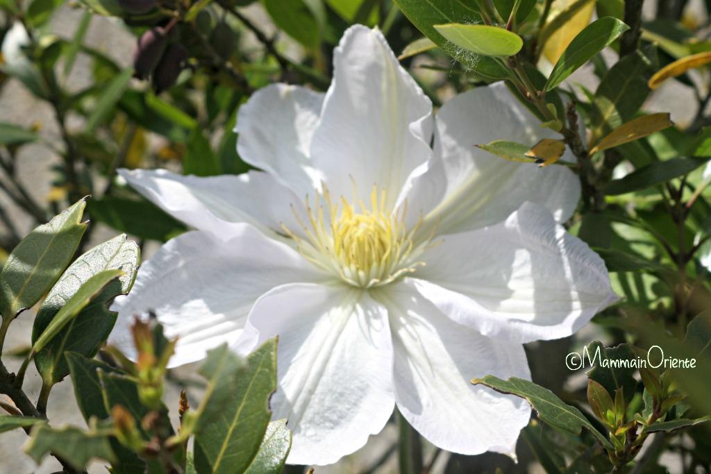Clematis a fiore gigante