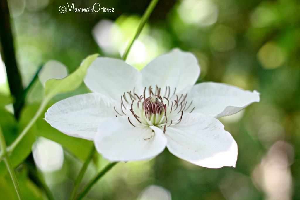 Clematis bianca
