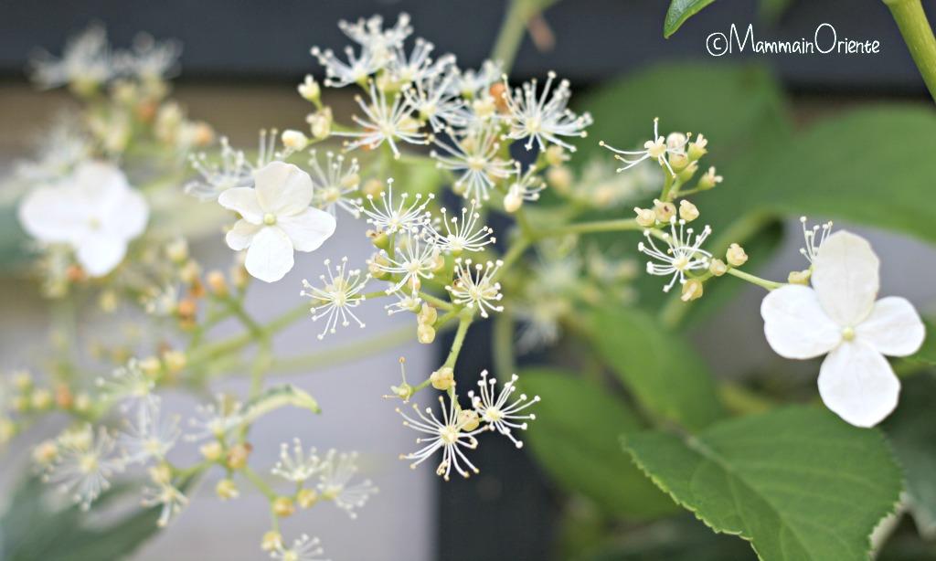 Hidrangea Petiolaris