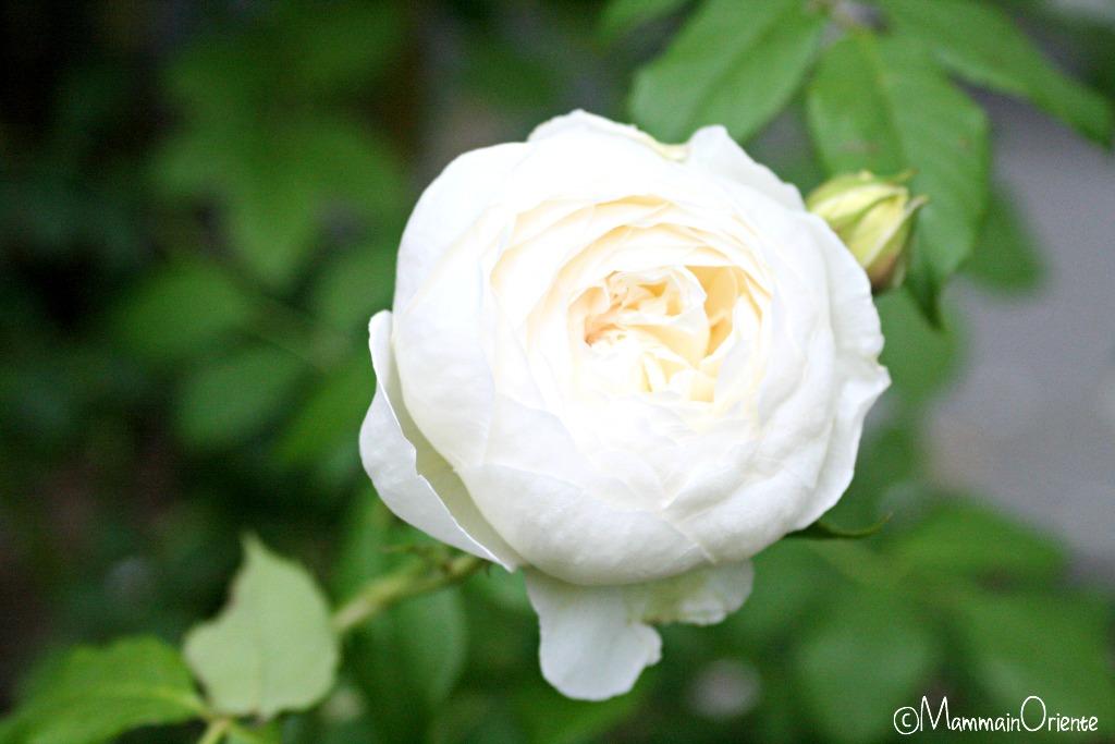 Rosa Claire Austin