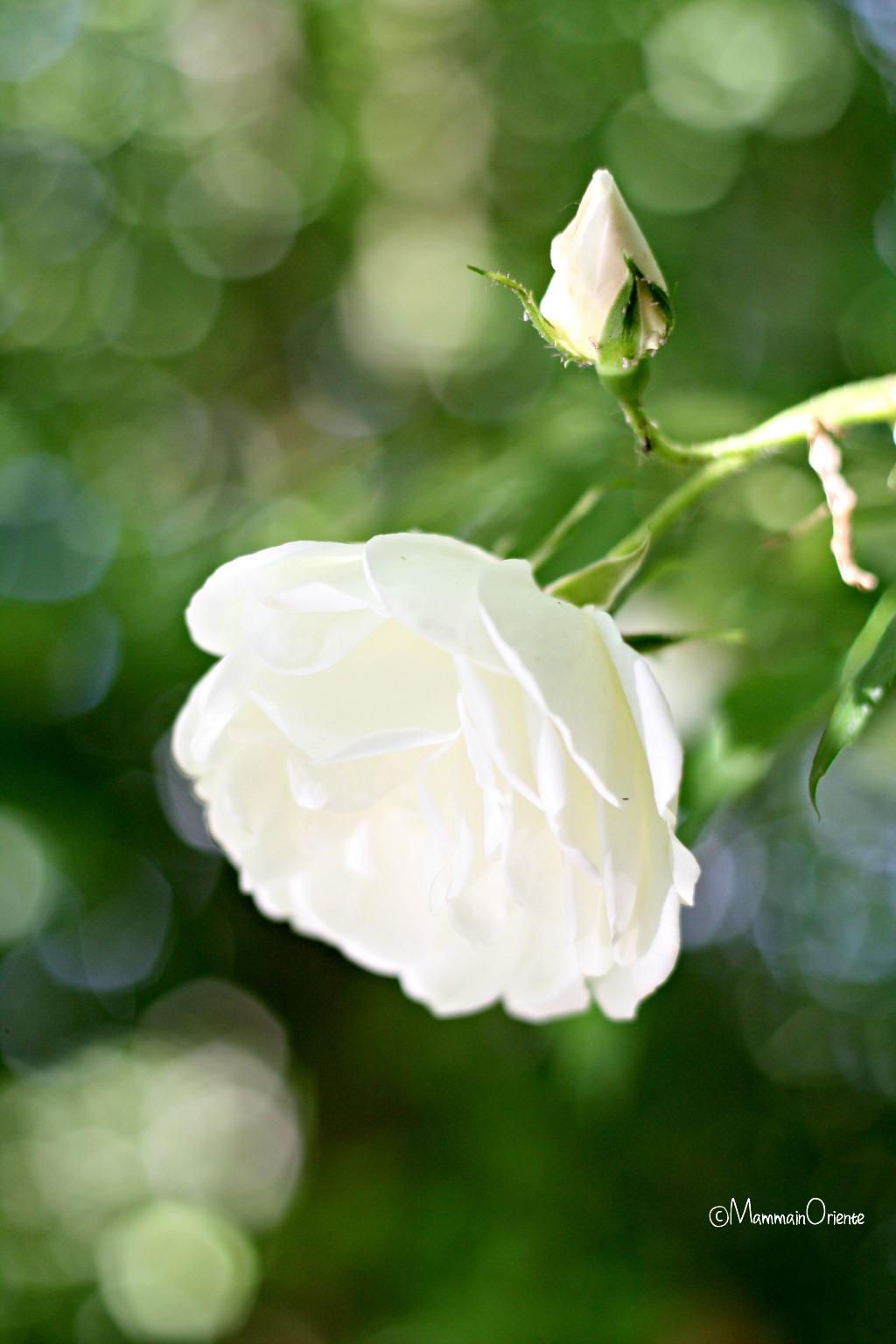 Rosa Iceberg bianca