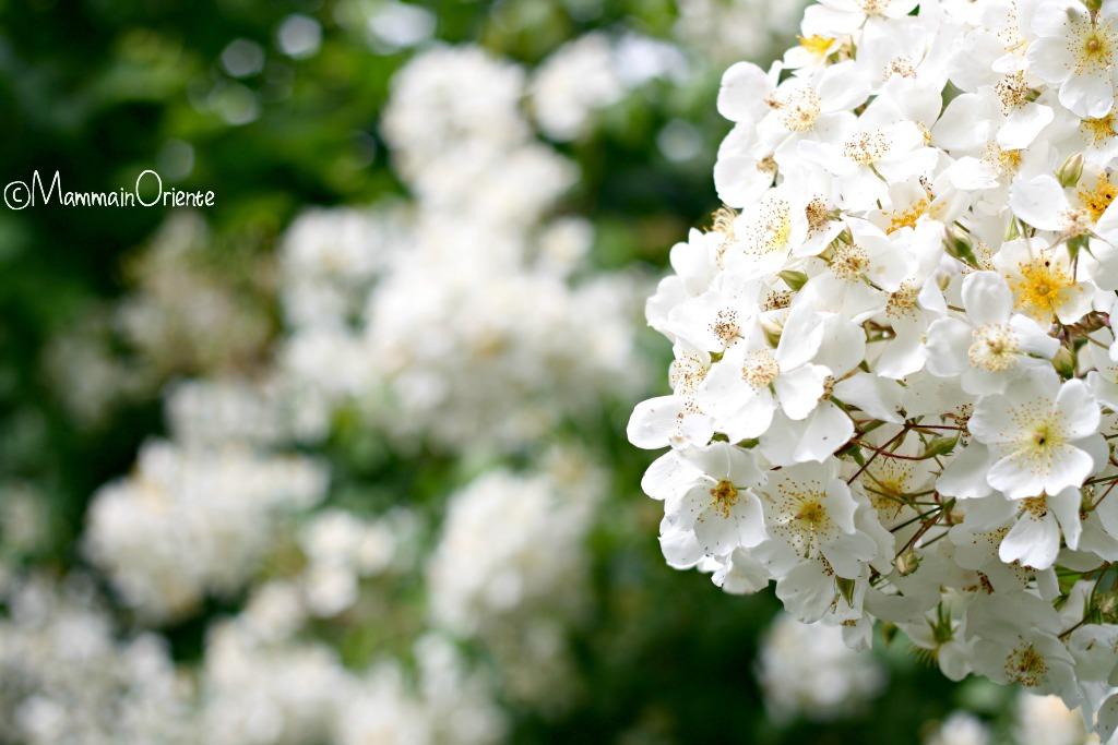 Una nuvola di rose R.Brunonii