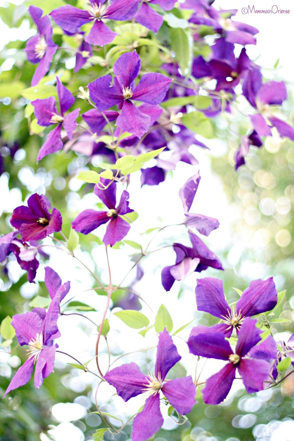 Clematis viola in fiore
