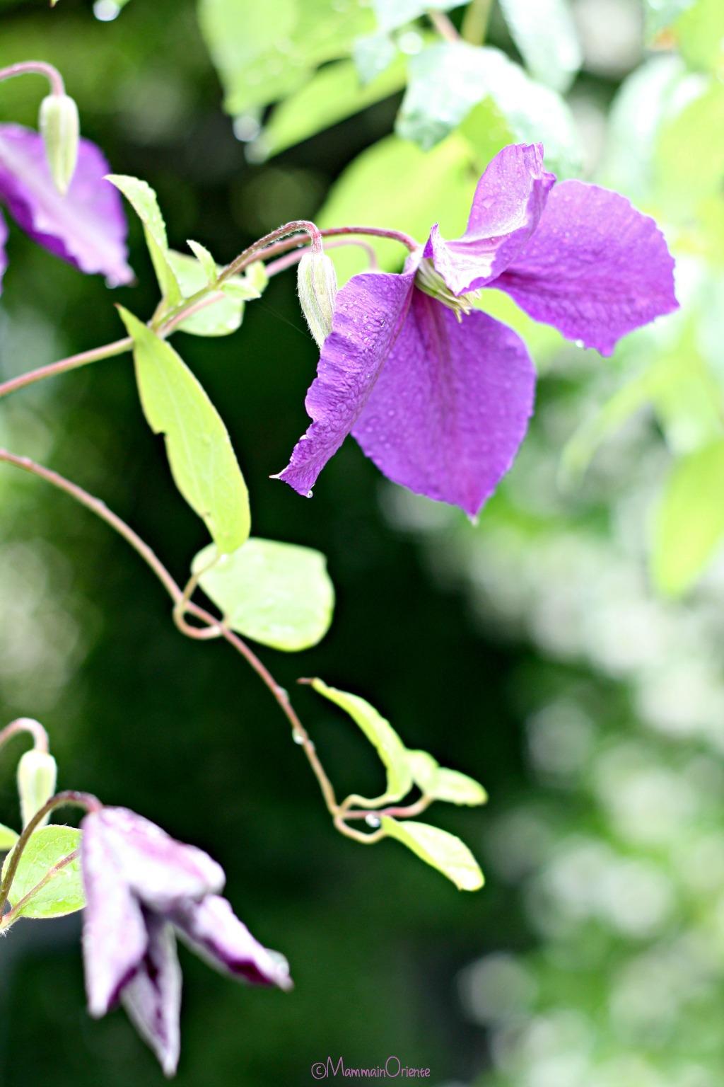 Clematis viola