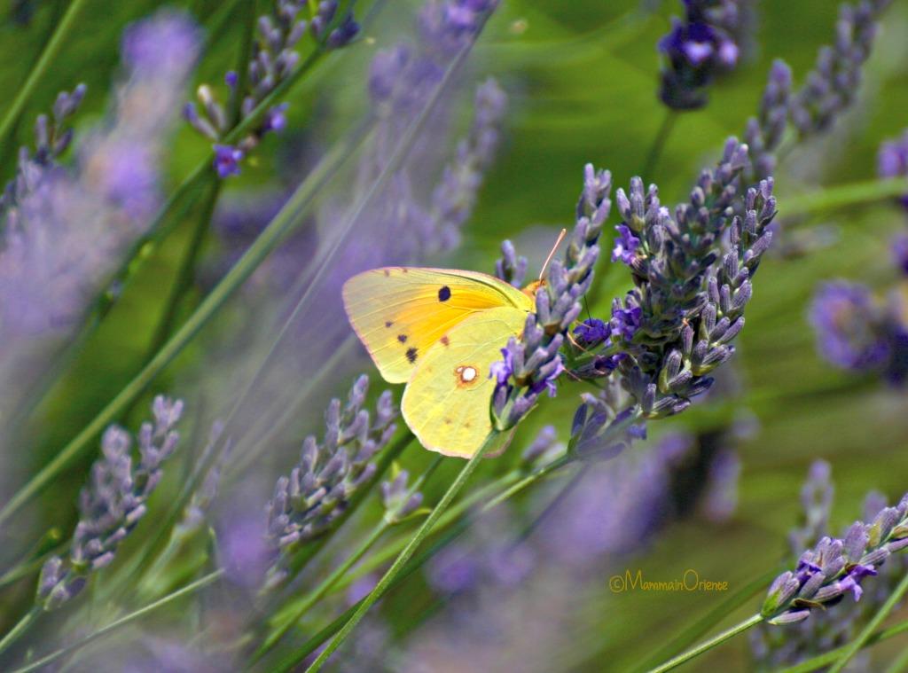Farfalla gialla sulla lavanda in Italia