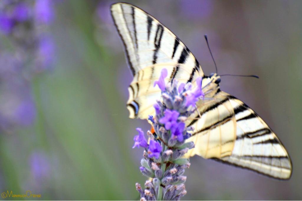 Farfalla sulla lavanda in Italia