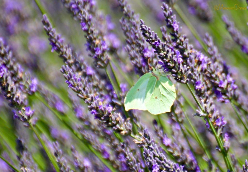 Farfalla verde acqua e lavanda