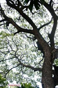 Il grande albero alla casa di Jim Thompson