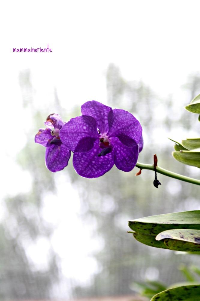 """La """"Fattoria delle Orchidee"""" di Pattaya"""
